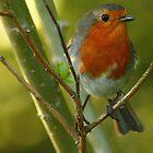 The Robin  by Mathew Woodman