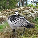 Male Barnacle Goose on guard by KanaShow