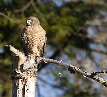 Broad-winged Hawk. by DigitallyStill