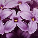 Macro Lilacs In Stu 1:1 macro by Douglas Gaston IV