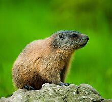 alpine marmot by peterwey