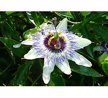 Beautiful Passion Flower With Garden Background Photographic Print