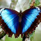 Blue Morpho by Ruby  Pen