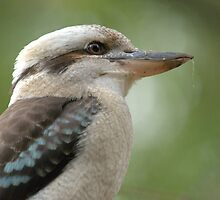 Kookaburra VII by Tom Newman