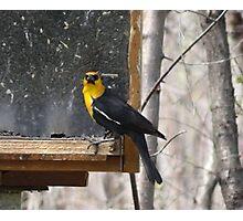 Yellow Headed Blackbird Photographic Print