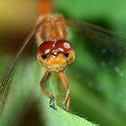 Dragonfly Eyes by Renee Dawson