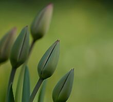 Morning`s tulips by Lucia Galovicova
