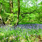 Bluebells woods. by sandgrouse