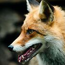 red fox by peterwey
