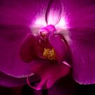 Orchid Face by Rachel Blumenthal