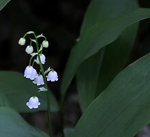 Lily of the Valley by Anne Smyth