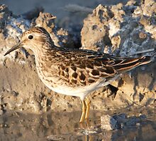 Least Sandpiper. by DigitallyStill