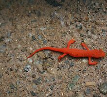 Eastern Red Spotted Newt by Karen Kaleta