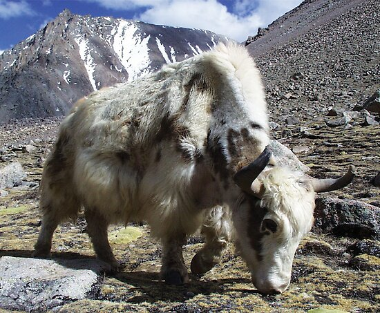 Yak, around the Kora Mt Kailash, Tibet by Vicktorya Stone