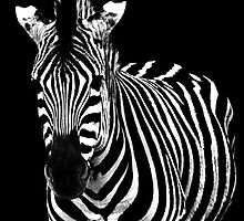 The zebra by Arek Rainczuk