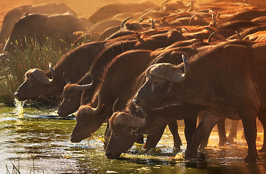 Buffalo at the Waterhole, West Tsavo NP, Kenya. Africa. by photosecosse /barbara jones
