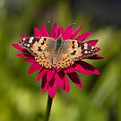 Painted lady butterfly -Vanessa cardui by Carole Stevens