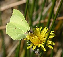 Brimstone Butterfly on Dandelion by Michael Field
