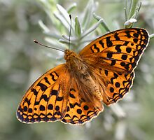 Dark Green Fritillary Butterfly by Michael Field