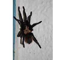 Tarantula Photographic Print