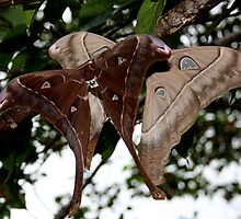 Giant moths by robmac