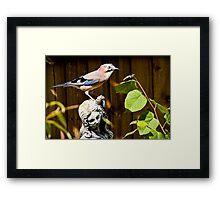 The Stunning Jay......... Framed Print