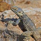 Hadim or Star Lizard by Robert Abraham