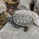 European Pond Turtle by Robert Abraham