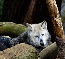 Timber Wolf by AshScales