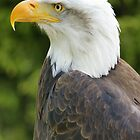 Bald Eagle  by MendipBlue