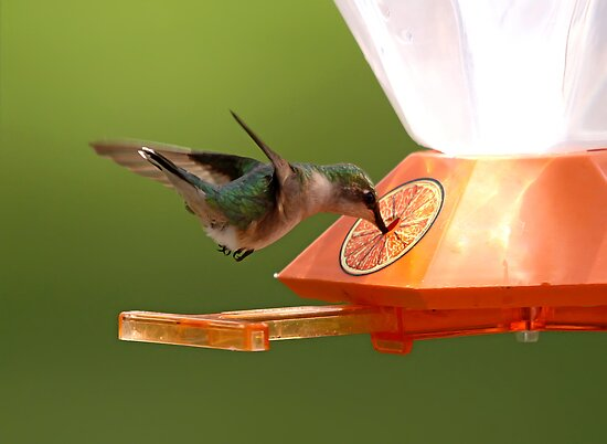 Ruby-Throated Hummingbird by Vickie Emms