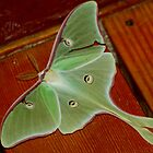 luna moth by Roslyn Lunetta