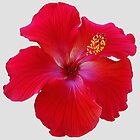 Hibiscus on White by kittyrodehorst