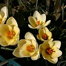 Crocus by murrstevens