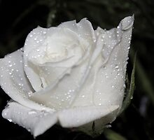 *WHITE ROSE* by Van Coleman