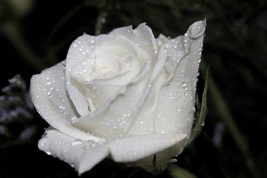 *WHITE ROSE* by Van Coleman