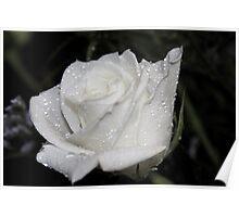 *WHITE ROSE* Poster