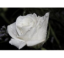 *WHITE ROSE* Photographic Print