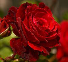 Red Rose by LudaNayvelt