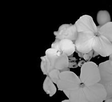 White Phlox in Black and White  by Michelle BarlondSmith