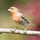 Male House Finch by imarkimages