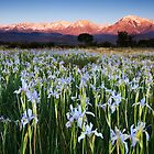 Eastern Sierra Wild Iris Sunrise by Nolan Nitschke