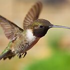 Black-Chinned Hummingbird by SB  Sullivan