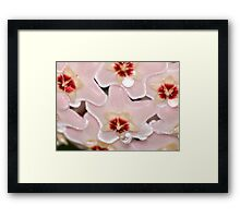 Hoya carnosa, Wax Flower Framed Print
