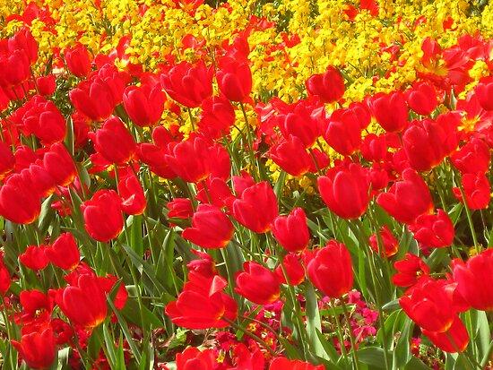 Spring Tulips by Honor Kyne