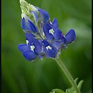 Texas Bluebonnet by Colleen Drew