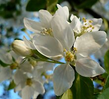 Apple Blossoms by ys-eye