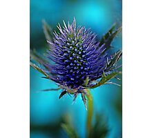 Sea Holly Photographic Print