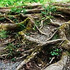 Roots by Donna Chapman