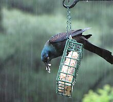 Cackle cackle soggy Grackle by maxy